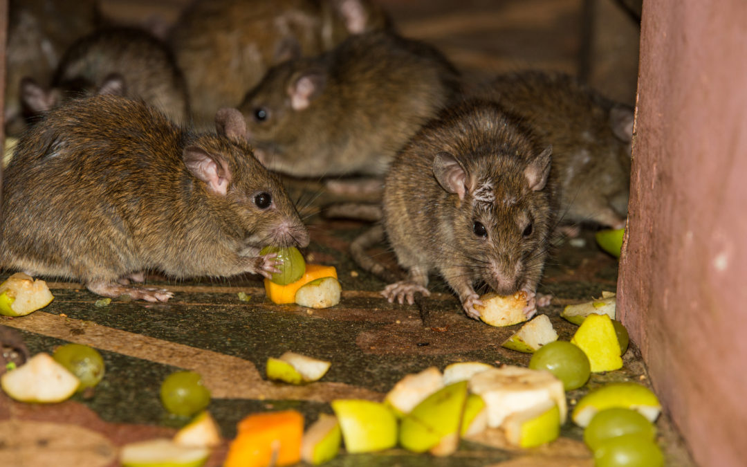 Rubbish and Garbage Chute: A Rat and Rodent Problem